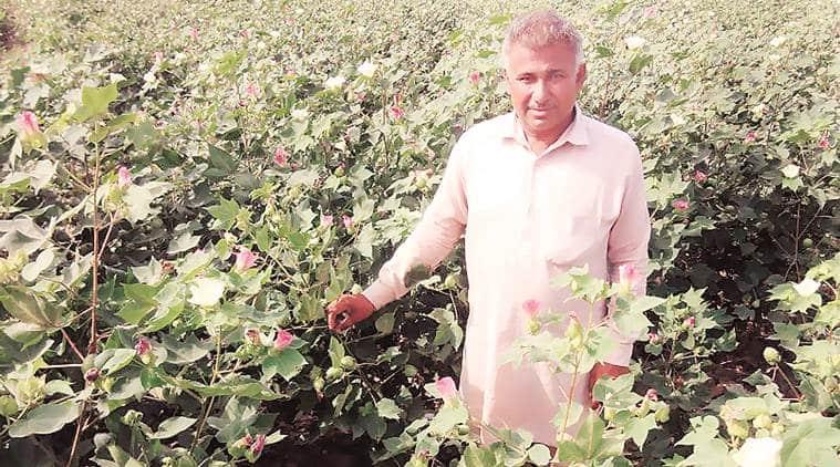 cotton growth, whitefly pest, cotton belt, cotton harvest, punjab agriculture,Punjab cotton farmers, cotton production, indian express