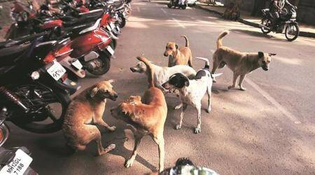 As civic sterilisation programmes fail to keep up, Pune sees increase in number of strays, dog bite cases