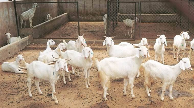 Goat sale, Gunarat news, Gujarat goat sale, Congress, BJP, Congress BJP spart over goat sale, India news, Indian express