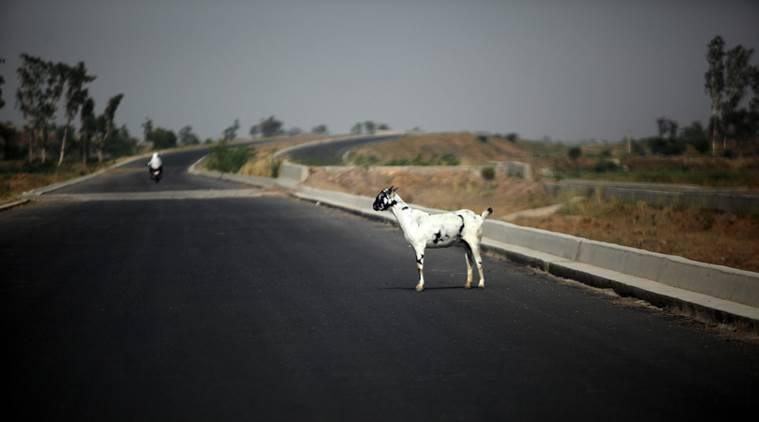 A goat stands on a highway