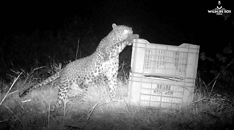 Pune: 13-week-old lost leopard cub rescued from sugarcane field, reunited with its family