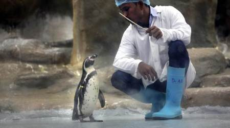 'We are glad to have in our zoo  the first penguin born in India'