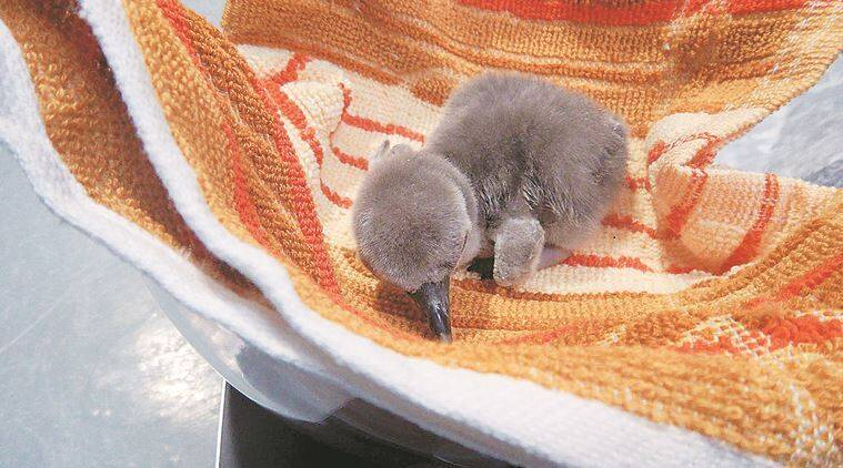 The newborn penguin is yet to be named. (Express photo)