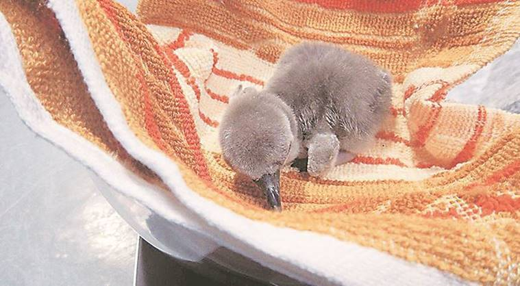 Byculla zoo: A week after, penguin chick dies