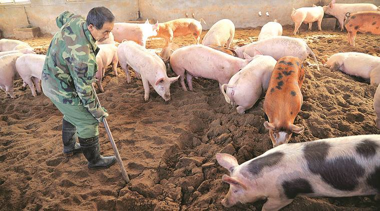 2014 photo of an organic pig farm in China. Outbreak could potentially devastate Chinese herds. (Source: AP)