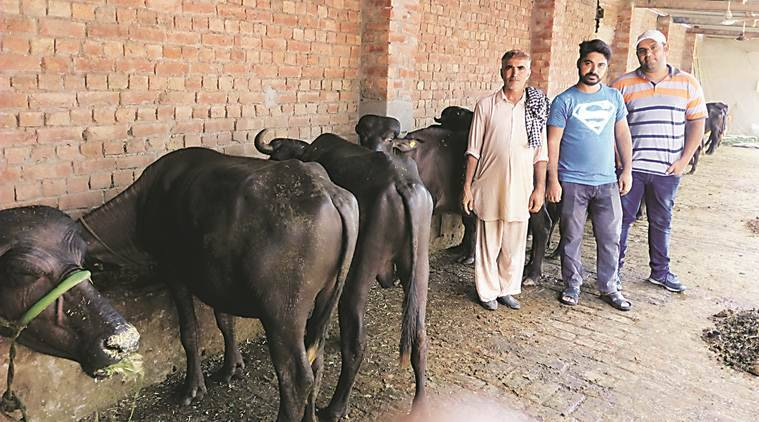 Punjab, rearing buffaloes, buffalo meat, male buffalo calves, Pujab farmers, slaughterhouses, indian express