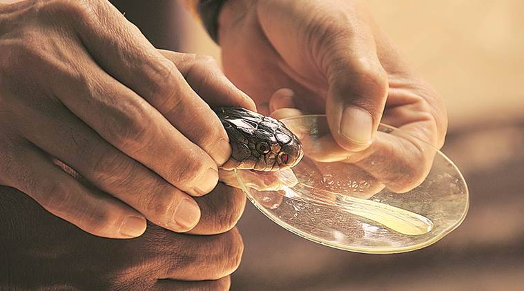 Research, training needed: Why snakebites remain a burden for India