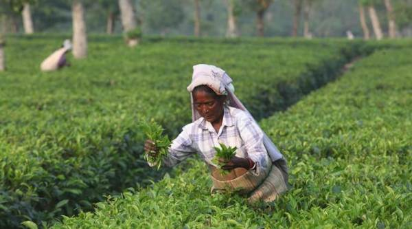 Tea variety from Arunachal auctioned at Rs 40,000/kg
