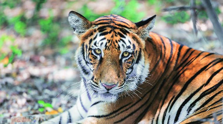 Uttarakhand High Court warns of referring tiger poaching case to CBI