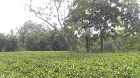 Organic makeover featuring gau-mutra for Tripura tea