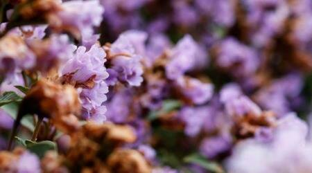 'Breathtaking': Neelakurinji blooms first time in 12 years