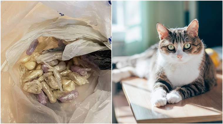 Dog, cat, Cat finds bag of drugs, cat found drugs, drugs, cocaine and heroin, dog video, Dog video, cat video, trending news, trending news