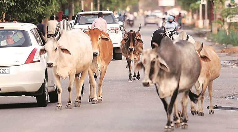 'Stray cattle turning non-vegetarian, sent for treatment': Goa minister