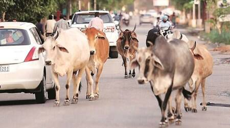 241 lives lost in two years due to attacks by stray cattle in Haryana: RTI activist
