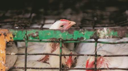 gazipur murga mandi, chicken slaughter banned, designated slaughterhouse to be set up, Chicken slaughter poor waste disposal, Delhi Pollution Control committee, chicken sale, Delhi, Indian Express
