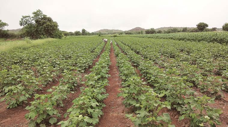 cotton, cotton farmers, agriculture sector, Gujarat cotton farmers, pink bollworm larvae, cotton insect, MSP, cotton harvest, Indian Express