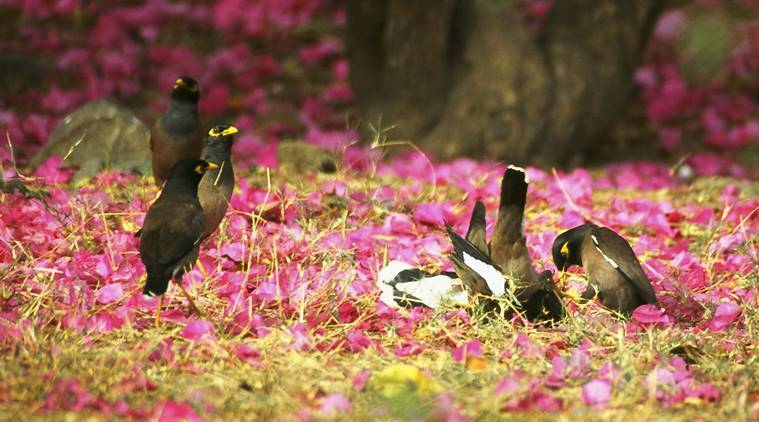 favourite birds, list of favourite birds, shikra, flamingo, great white pelicans, magpie robins, myna, pahari crows, rose ringed parakeets, indian express, indian express news
