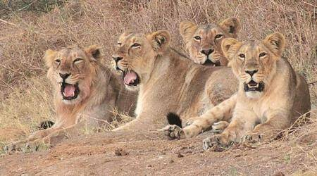 Gujarat news, Ahmedabad news, Gujarat, Gir lions, Gir forest, Gir forest gujarat, Asiatic lion, Asiatic lions Gir, Gir forest lions, indian express