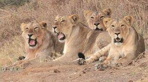 11 lions found dead in Gir forest: No foul play, deaths due to territorial fights, says forest officer