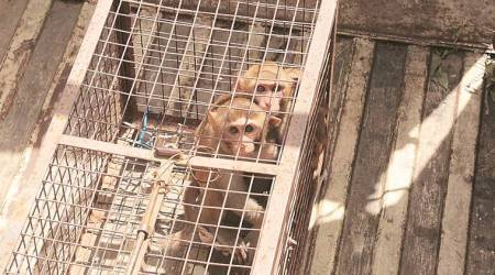 Two UT officials 'caught' releasing monkeys in Panchkula, let off later