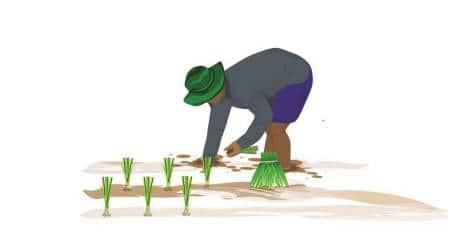 Kharif crops in Gujarat, Kharif crop cotton and paddy, water intensive crop cotton and paddy, Gujarat agriculture, Gujarat irrigation, Sardar Sarovar Narmada Nigam Limited, gujarat monsoon, Gujarat agriculture, Ahmedabad, Indian Express