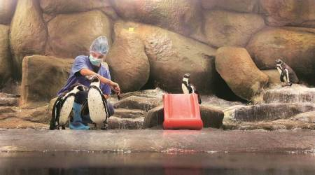 Happy feet in Byculla: Watching over Mumbai zoo's celebrity penguins