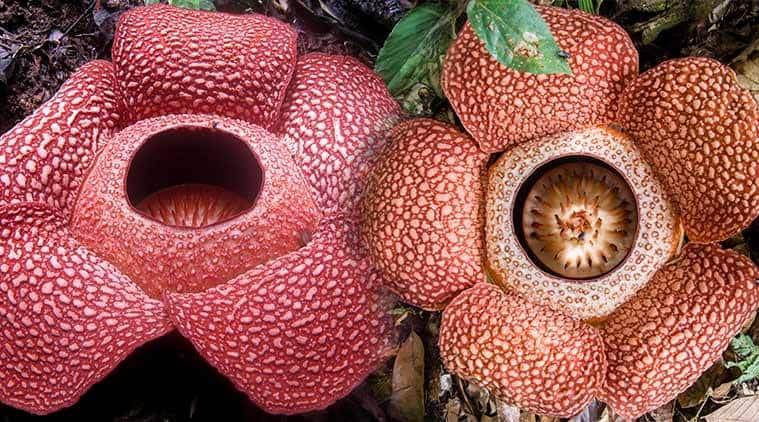 Rafflesia, largest flower in world, Rafflesia parasite, Rafflesia diet patters, Rafflesia pollination, Rafflesia size, size of biggest flower of world, indian express, indian express news
