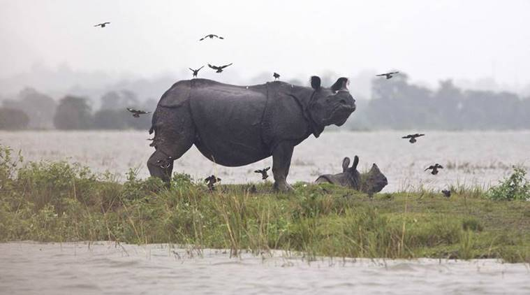 tiger, gibbon, buffoon, one horned rhinocerous, indian lion, blackbuck, beasts in jungles, jungles, indian animals, indian jungles, bears, crocodile, indian express, indian express news