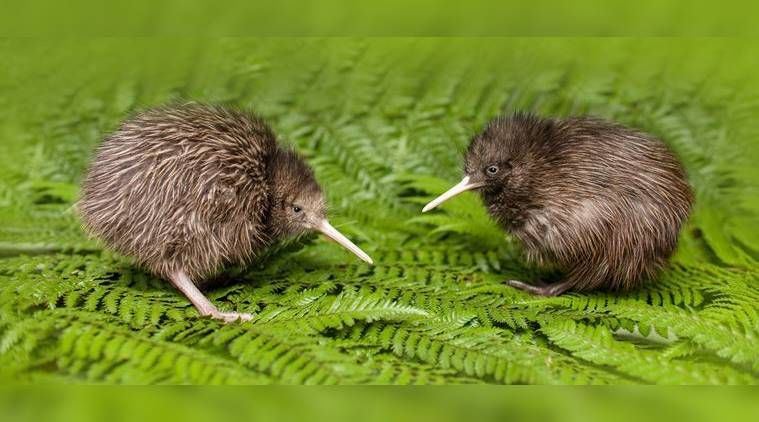Terry James, Auckland, New Zealand, Kiwis, Rotorua, Rimu, Tawa, Miro, Maoris, Haast's eagle, Dansey Road Scenic Reserve, Rotorua Canopy Tours, New Zealand Department of Conservation, Rainbow Springs Nature Park, indian express, indian express news