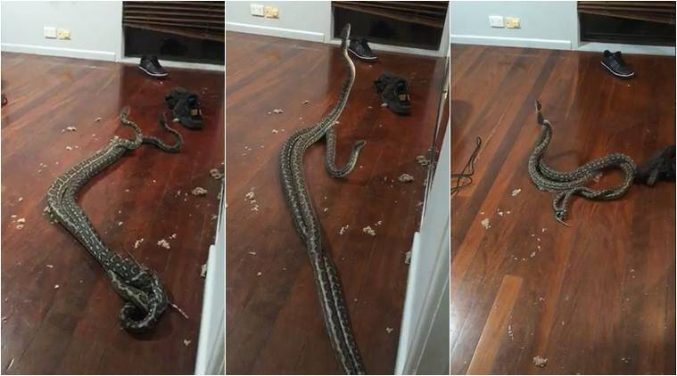snake, python, snakes fighting, snake combat for love, snake fall through ceiling, scary video, australia snake video, indian express, viral video