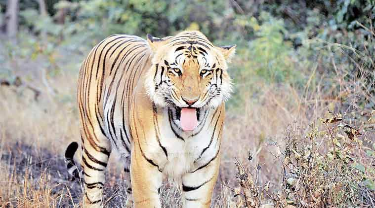 Tigress Avni, Tigress T shot dead, Avni cubs, Yavatmal tigress, AAP, Mumbai AAP, AAP leader Preeti Menon, Indian Express