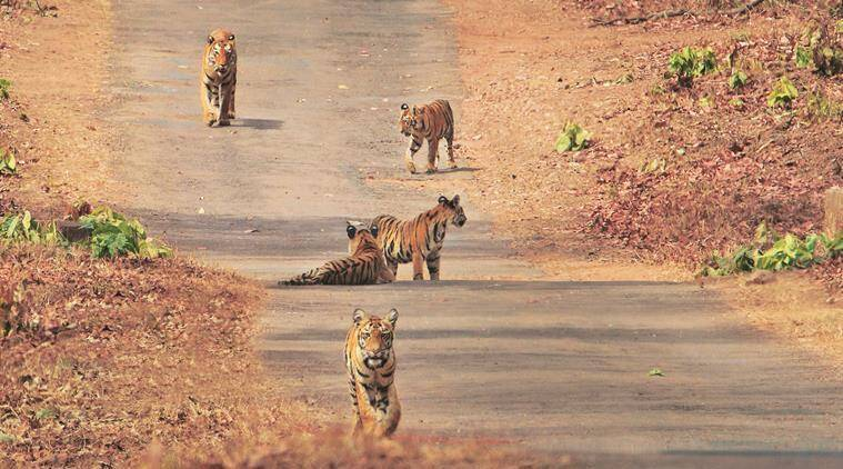 Tigers at Tadoba-Andhari Tiger Reserve. (Kiran Ghadge)