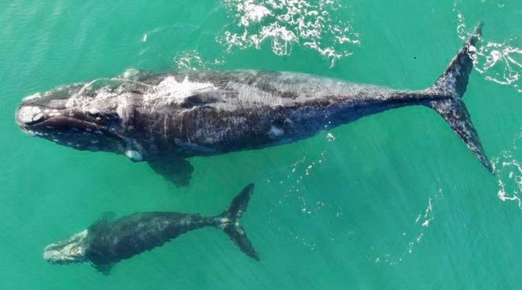 baby killer whale dead, ailing orca dead, endangered killer whale, killer whales in Pacific Northwest, Killer whales in Pacific, endangered animals, World News, Indian Express