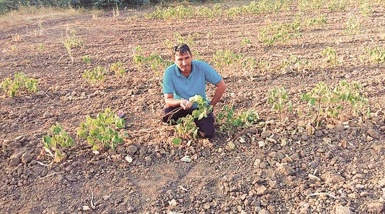 cotton, cotton farmers, agriculture sector, Gujarat cotton farmers, india monsoon, Gujarat drought, msp, cotton harvest, indian express