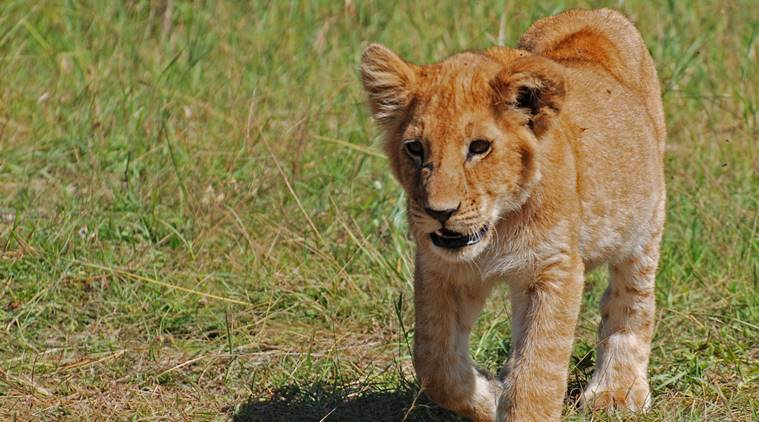 Yavatmal: Cub sighted, effort focused in the area