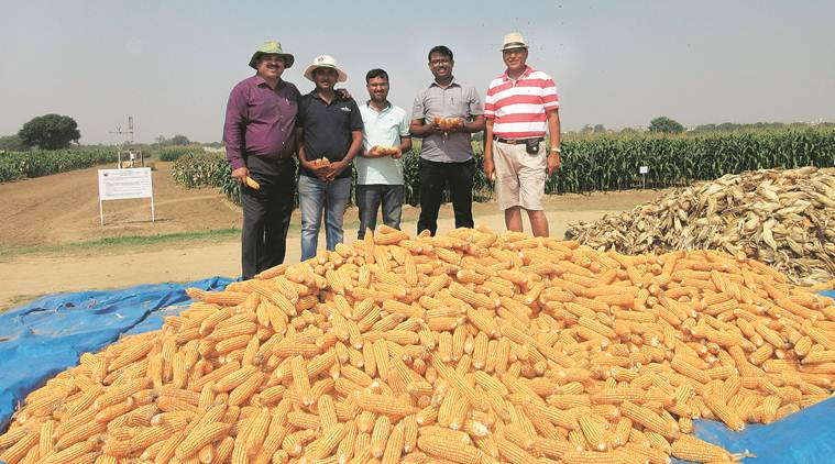 maize, maize production, maize crop, Cereal grains, Indian Agricultural Research Institute, IARI, Cereal grains price, maize kernels, agriculture sector, indian express