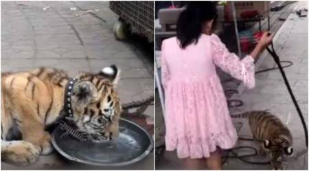 This 9-year-old girl in China goes for a walk with a tiger on a leash