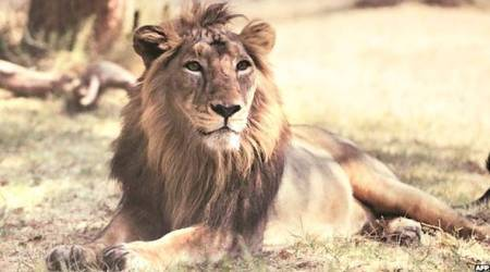 Gujarat government finalises Rs 351-crore package for lion conservation after spate of deaths
