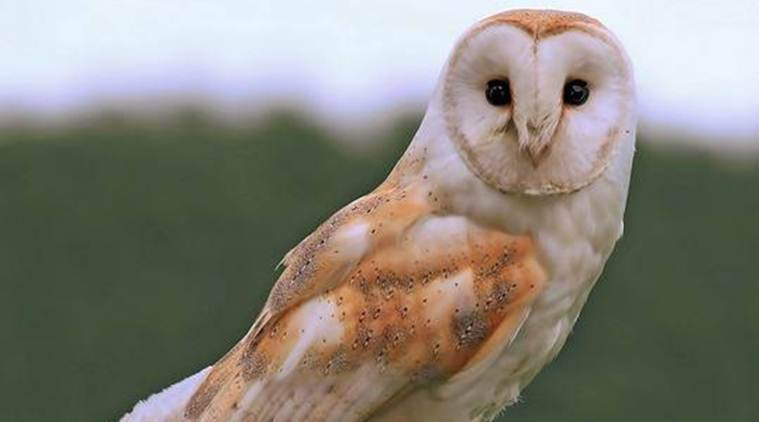 Punjab: A month after two barn owls went missing from ...