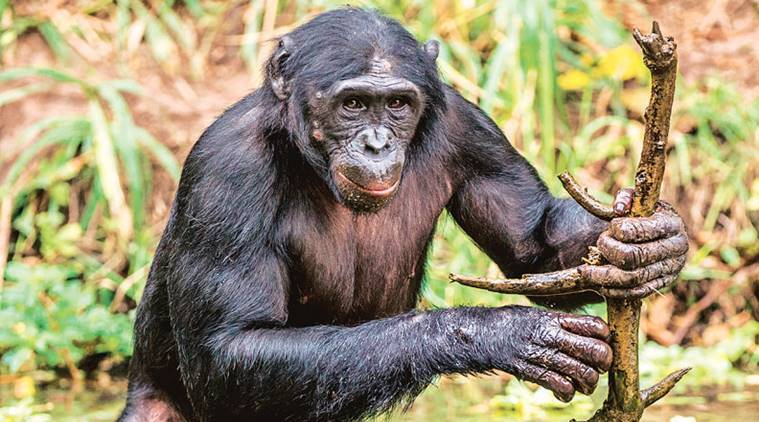 animals, animals that adapted, animal intelligence, animals and their tools. human-animal brain, orangutans, chimpanzee, indian express, indian express news