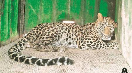 Maharashtra: Three-year-old female leopard rescued from 50-feet deep well
