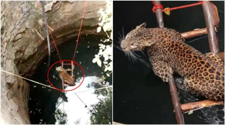 leopard, leopard rescue, leopard rescue Maharashtra, female leopard rescued viral video, leopard rescue Maharashtra video