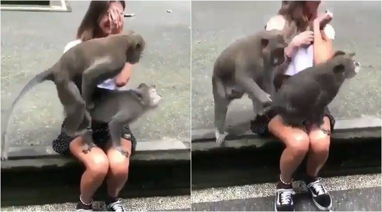 monkey sex, monkey sex on tourist lap, monkey hump on woman lap, funny animal video, weird news, odd news, indian express