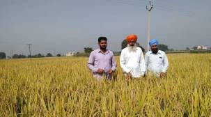 Less water, better yield: Paddy without puddling experiment in Punjab yields encouraging results