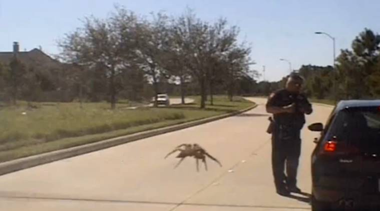 giant spider, giant spider optical illusion, giant spider viral video, spider, spider videos,