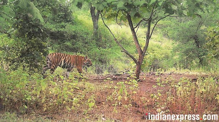 Odisha tigress attack, attacks by odisha tigress, death by tigress attack in Odisha, man-tiger conflict, Odisha news, Indian express