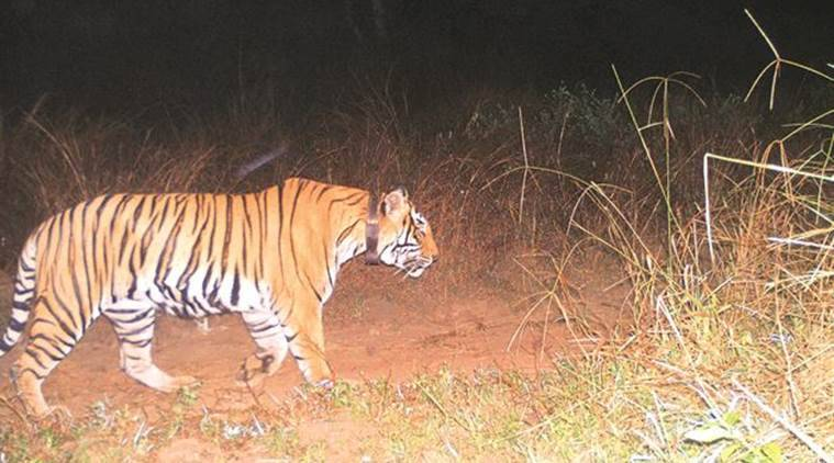 Maharashtra government mulls raising compensation to kin of tiger attack victims
