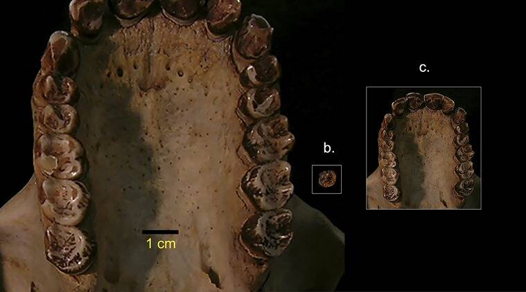 Tiniest ape ever discovered hints at the rise of the monkeys