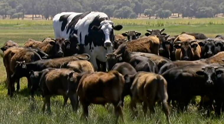 Knickers, Knickers the giant cow, giant cow, giant cow saved, giant cow saved from slaughter, cow story, giant cow story