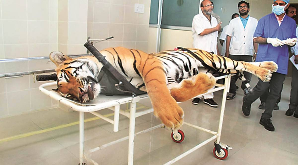 Avni killing: Autopsy suggests tigress shot when looking away, dressed up with dart